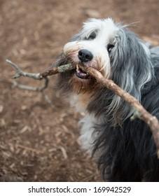 Bearded collie dog holding large stick