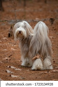 Bearded Collie dog, male in a natural setting.