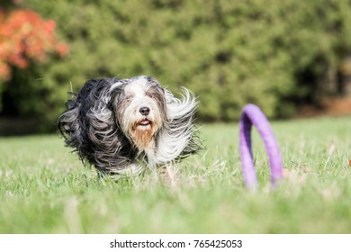 Bearded collie dog running for puller toy