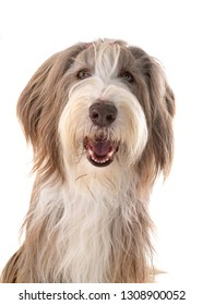 bearded collie in front of white background