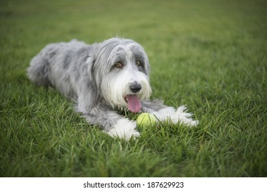Bearded Collie with his big pink tongue out panting hard during tennis ball fetch play time which is is favorite activity.
