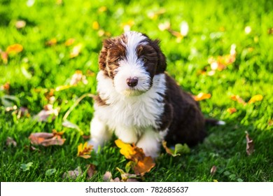 a bearded collie puppy running around in the grass