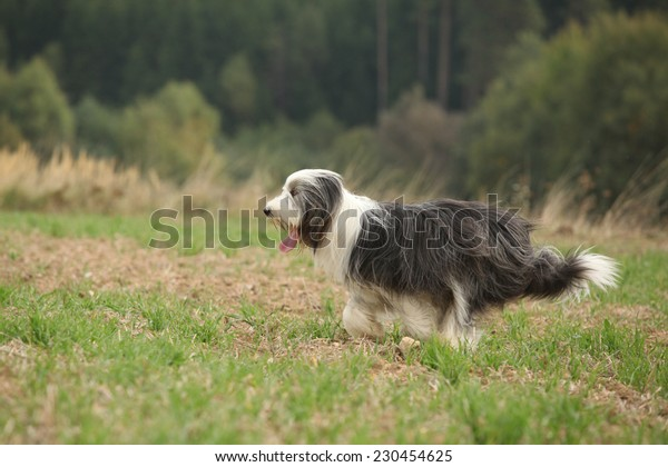 Bearded collie running in nature in summer