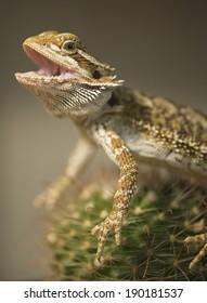 Bearded Dargon sitting on a Cactus...