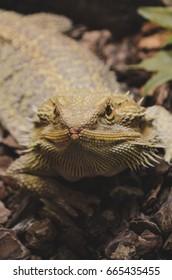 bearded dragon, agama vitticeps