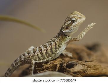 Bearded dragon - Agamidae