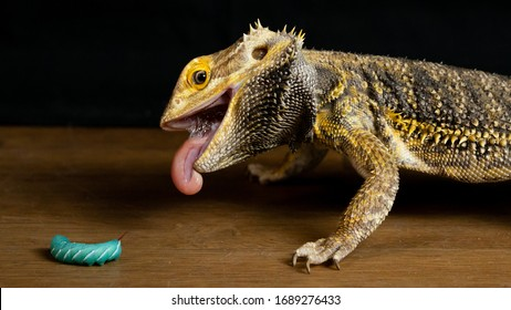 Bearded Dragon Eating a Hornworm