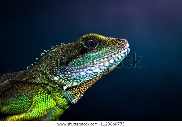Bearded Dragon Exotic Lizard Dragon Pet Stock Photo (Edit Now