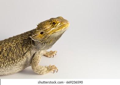bearded dragon, exotic pet reptile resting