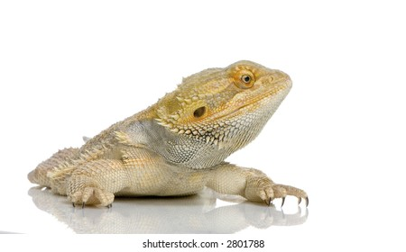 Bearded Dragon in front of a white background