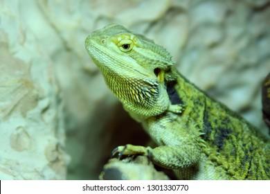 Bearded Dragon Genus Pogona Reptile