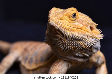 Bearded Dragon with head in focus and body out of focus