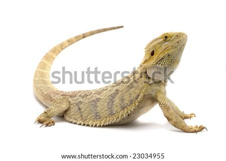 Bearded Dragon Isolated On White Background Foto de stock (editar ...