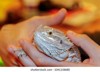 Bearded Dragon Lizard holded in hands close-up