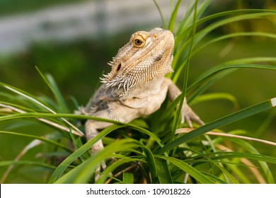 A Bearded Dragon Lizard (Pogona vitticeps) on the palm tree.