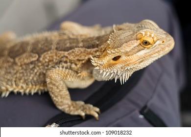 A Bearded Dragon Lizard (Pogona vitticeps) sitting on human leg.