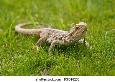 A Bearded Dragon Lizard (Pogona vitticeps) in grass.