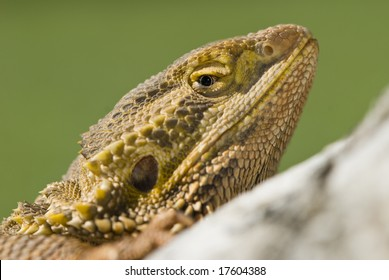 Bearded dragon looking over wooden log