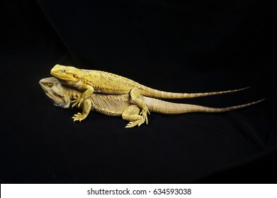 A Bearded Dragon on top of another