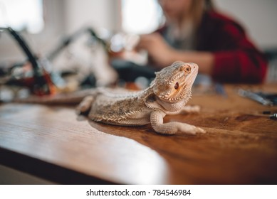 Bearded dragon on the wooden table