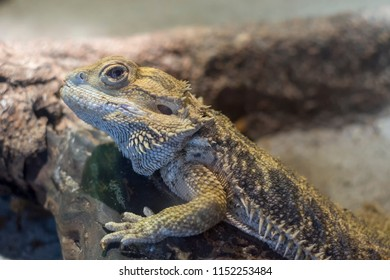 Adult Bearded Dragon Images Stock Photos Vectors Shutterstock