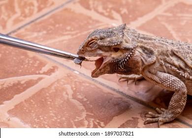 A bearded dragon (Pogona sp) eating cricket