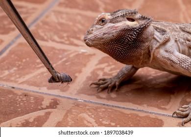 A bearded dragon (Pogona sp) looking a cricket