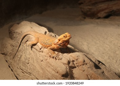 Bearded dragon or Pogona Vitticeps is genus of reptiles which has beard underside its throat.