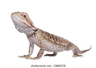 Bearded Dragon Pogona vitticeps isolated on white-2