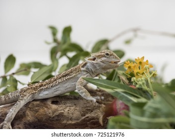 Bearded Dragon Reptile on a log  feasting on yellow flowers