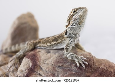 Bearded Dragon reptile resting, posing on a rock