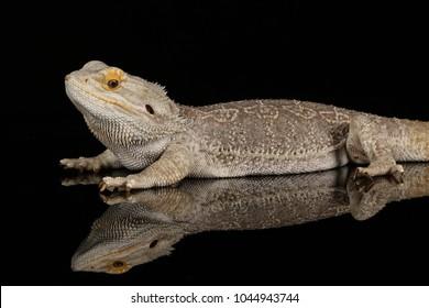 bearded dragon - studio captured image