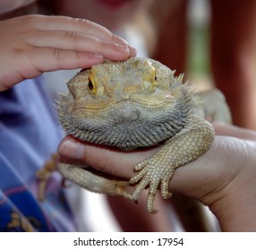 Bearded Dragon Touch