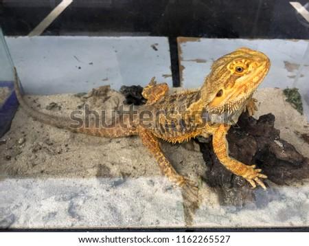 Bearded Dragons Pagona Vitticeps Desert Lizard Stock Photo Edit Now