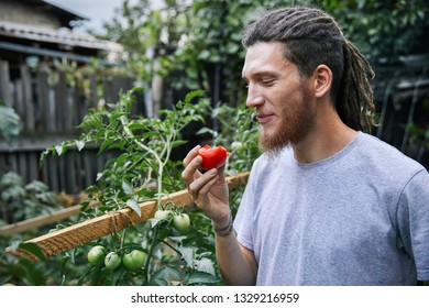 Bearded farmer with dreadlocks eat fresh tomato from his greenhouse