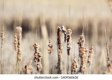 Bearded reedling´s fitness on reeds