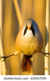 Bearded funny bird. Yellow reeds background.