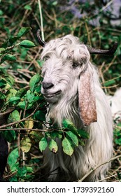 A bearded goat chews in the jungle.