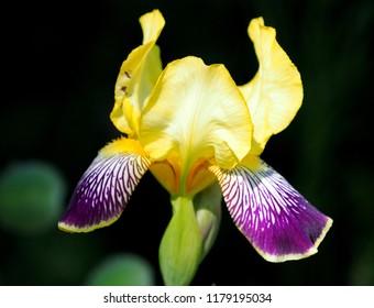 Bearded Iris in full bloom