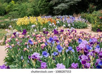 Bearded Iris (Iris hybrida) in botanical garden, Nikita, Yalta, Crimea