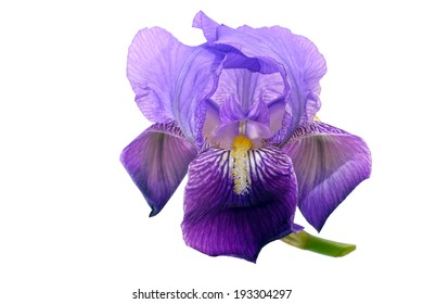 Bearded iris, isolated over white background. Delicate purple wild flower.