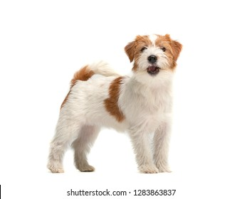 Bearded Jack Russell Terrier puppy in studio
