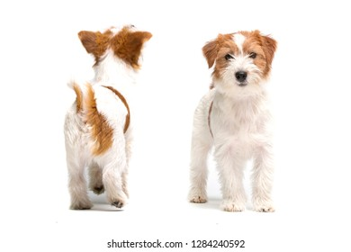 Bearded Jack Russell Terrier puppy in studio. Front and back position.