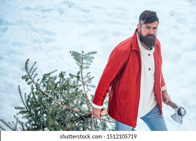 Bearded man with freshly cut down Christmas tree in forest. Hipster woodsman with Christmas tree. Purchase and delivery of conifer on Christmas Eve