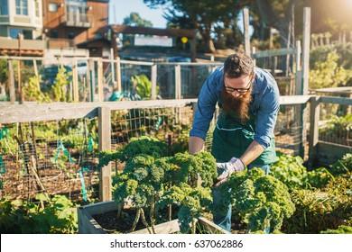 bearded man tending kale crops in urban communal garden