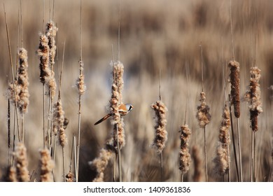 Bearded reedling male on reeds on pond