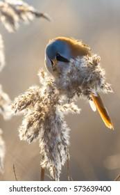 Bearded reedling (or bearded tit) in warm sunlight / backlight in winter on reed in Oostvaardersplassen (Netherlands / Holland).