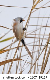 The bearded reedling - Panurus biarmicus - is a small songbird