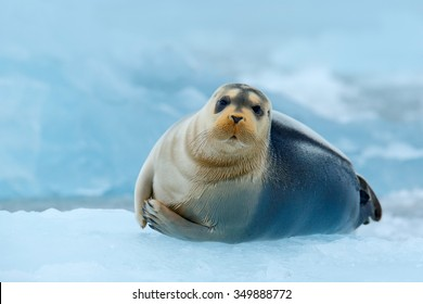 Bearded seal on blue and white ice in Arctic Russia, face to face view.