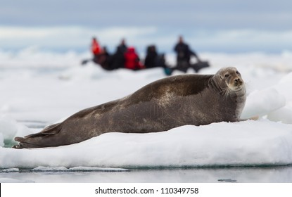 Bearded seal on ice floe being watched by eco tourists in a zodiac boat